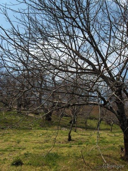 Ağaçlar (Foça, İzmir)