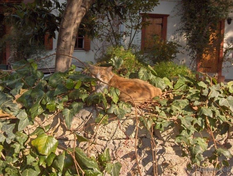 Foça'nın Kedisi