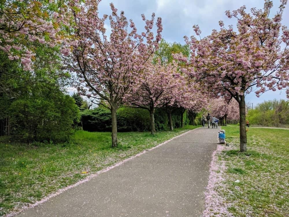 bornholmerstr cherry blossom